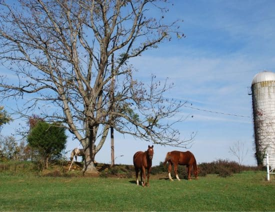 Two brown horses and one white horse grazing on green grass near large tree