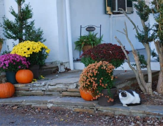 Stone entry way decorated with purple, yellow, burgundy, and peach flowers and orange pumpkins with white and gray cat sitting nearby