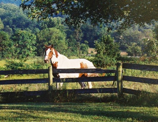White and brown horse standing by old fence with large green trees in the background