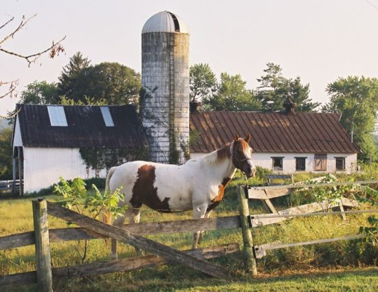 White and brown horse standing by old fence with old silo in the background