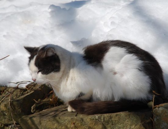 White and gray cat sitting on stone next to lots of snow