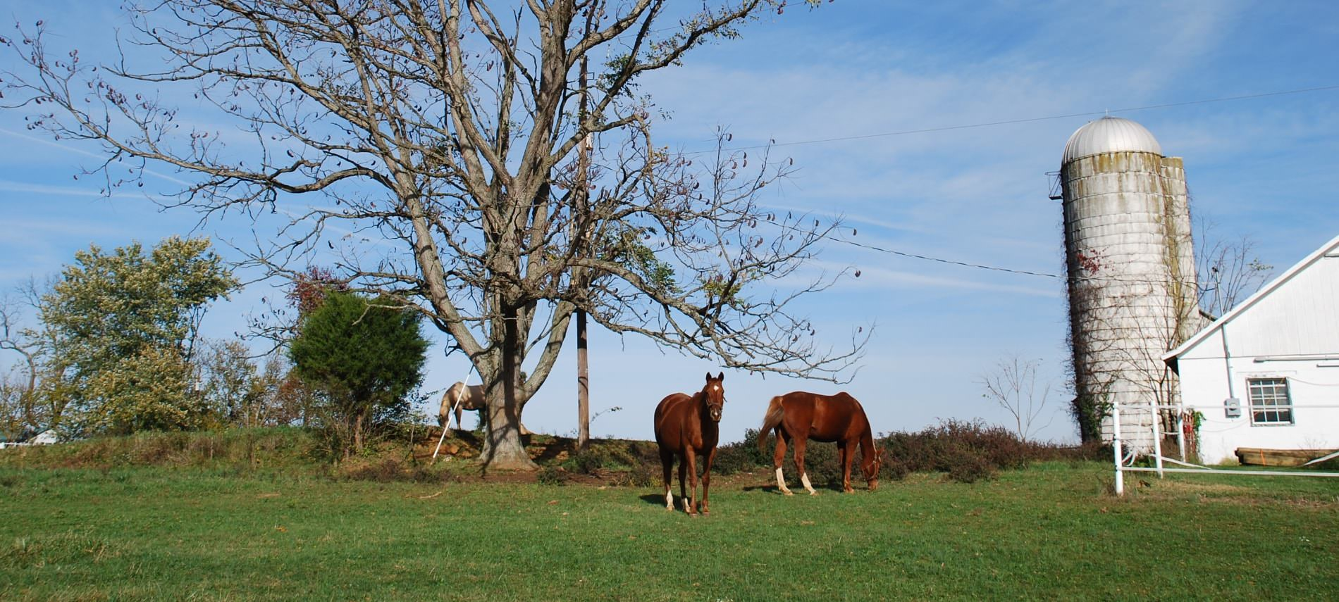 Two brown horses and one white horse grazing on green grass hear large tree and old silo