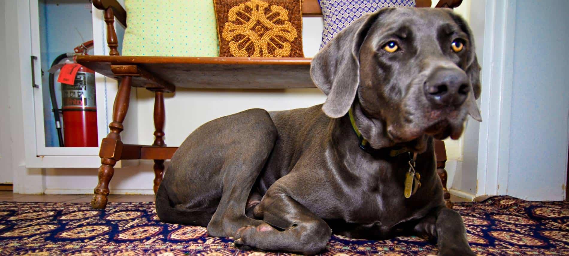 Large dog with shiny dark gray coat laying on rug on hardwood floor